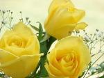 YellowRoses[1]