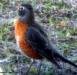 robin redbreast in my yard