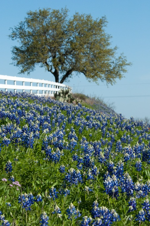 2010-texas-bluebonnet-pictures-016[1]