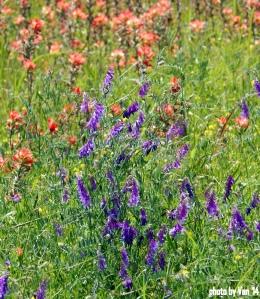 wildflowers in TX